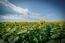 Sonnenblumenfeld im Elsaß